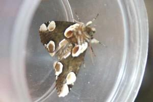 Braamvlinder