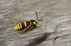 Hoornaarvlinder (foto Griet Nijs)