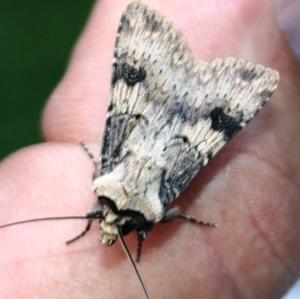 In de tuin van entomoloog Peter Berx; enkele zeldzame soorten voor Limburg
