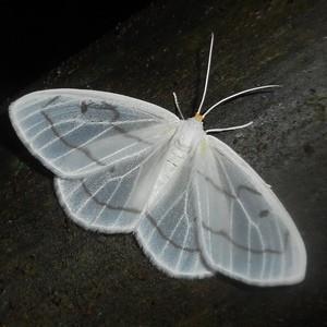 Costa Rica: het ultieme nachtvlinderparadijs